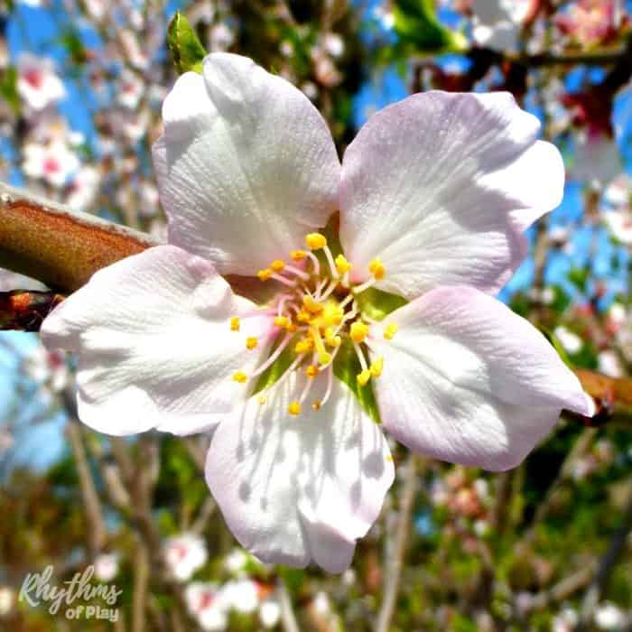 The spring vernal equinox typically occurs between the 20th and 22nd of March in the Northern Hemisphere while those in the Southern Hemisphere celebrate in September. While the Northern Hemisphere welcomes the spring, the southern hemisphere welcomes the fall or autumn. Click through to find traditional celebration ideas, crafts, and decorations you can make to celebrate the spring vernal solstice! Links to celebration ideas for the fall autumnal equinox are also included.