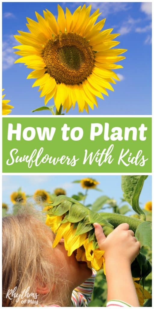Learning how to plant sunflowers is an easy beginning gardening project for kids. Sunflowers are one of the easiest flowers to plant from seed directly into the earth. They quickly grow into large magical flowers that kids love to admire and enjoy. Grow them in a circle to make a sunflower fort for even more fun. Get outside with the kids to plant sunflowers today!