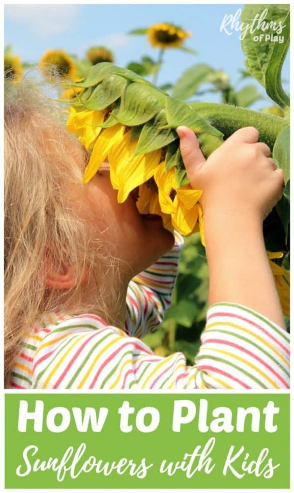 How to plant sunflowers with kids.