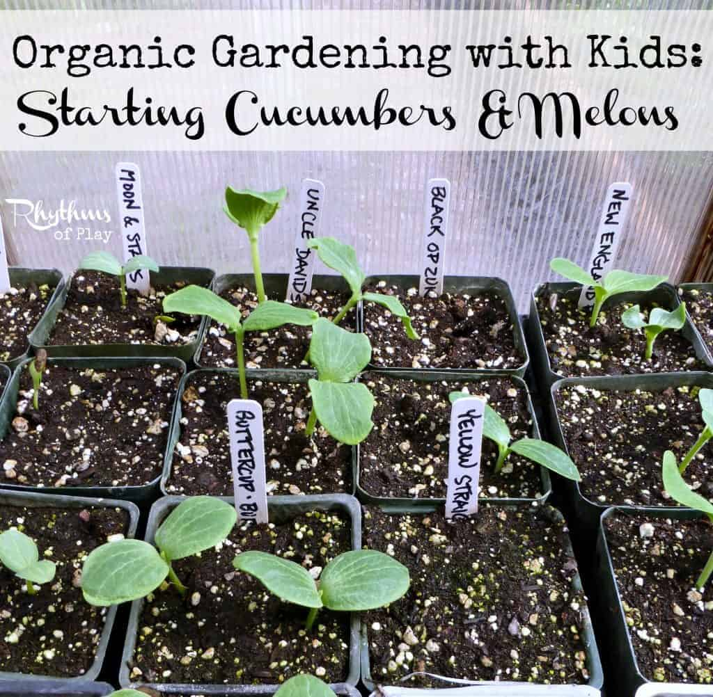 Organic gardening with kids starting cucumbers & melons