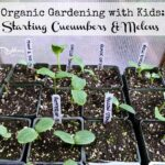 Organic Gardening with Kids: Starting Cucumbers & Melons