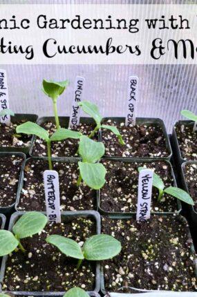 Organic gardening with kids starting cucumbers & melons