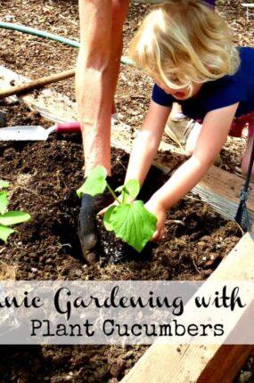 Organic gardening with kids - plant cucumbers