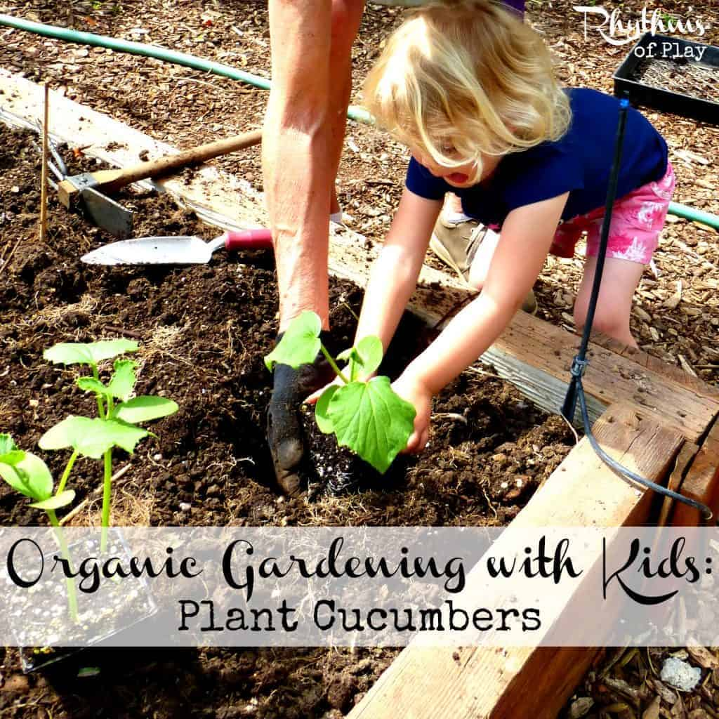 Organic gardening with kids - plant cucumbers