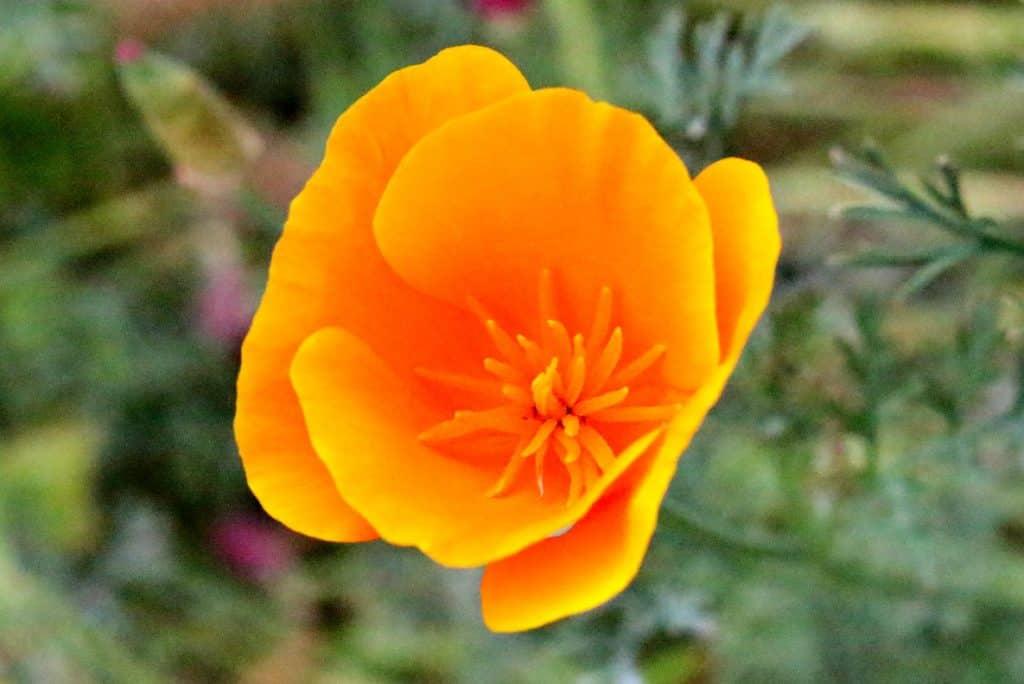 California State Golden Poppy Craft