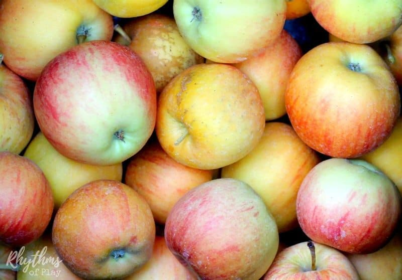 bunch of autumn apples picked on apple orchard field trip