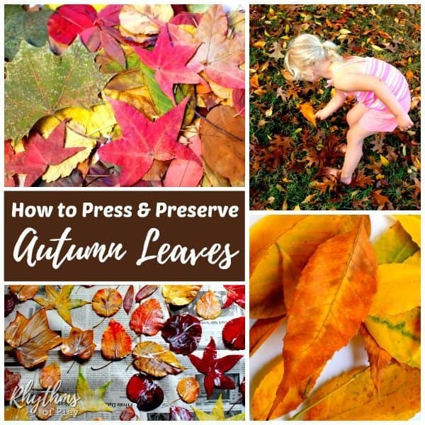 Learning how to press and preserve fall leaves is an easy crafting activity for kids and adults of all ages. Once finished you can use the preserved autumn leaves for nature crafts and art projects of all kinds. Fall leaves will lose their color, shrivel up and break into pieces if you aren't able to use them right away. This article contains directions to one way that you can choose to preserve autumn leaves. Click through to find a few other options to try!