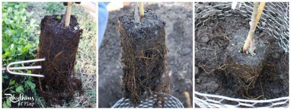Gently tease out roots before planting a tree