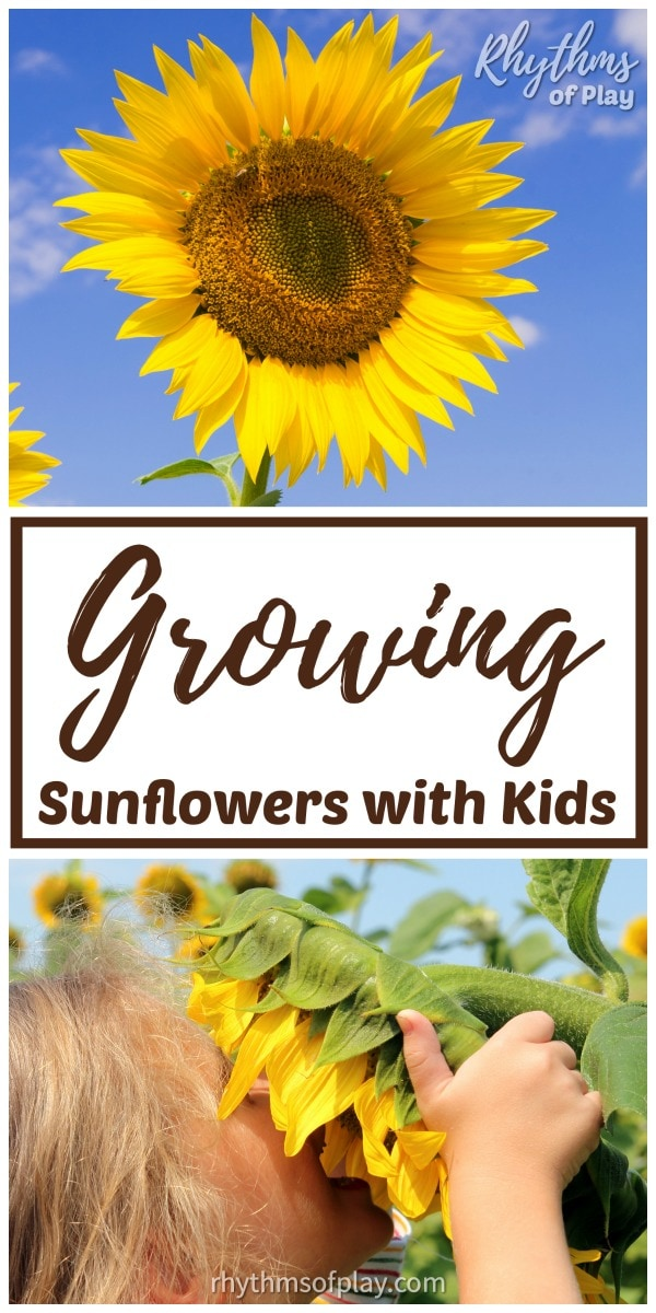 growing sunflowers - how to plant sunflower seeds