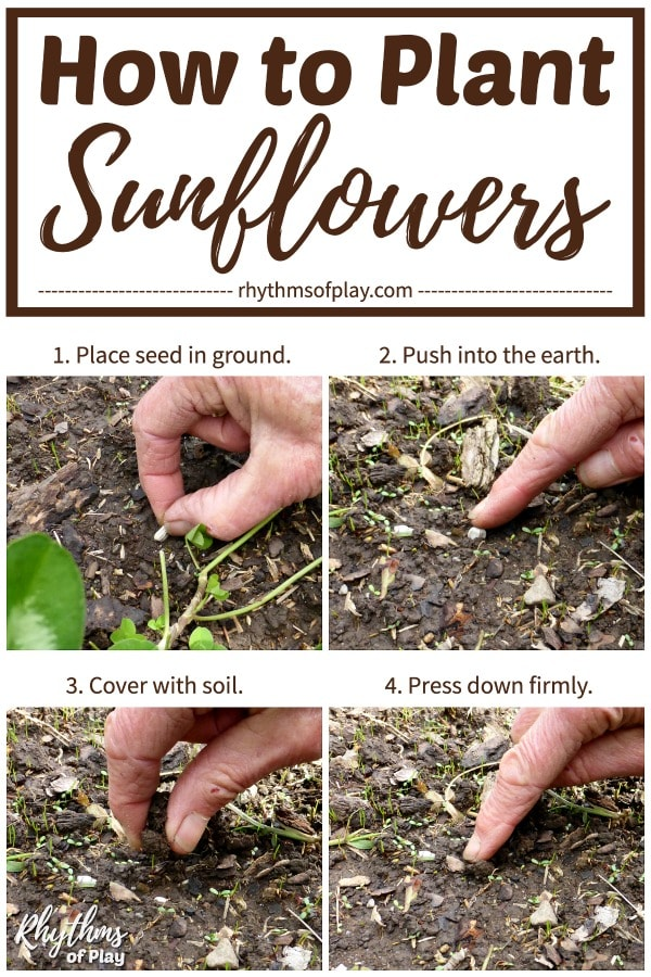 how to plant sunflower seeds step by step photo tutorial.