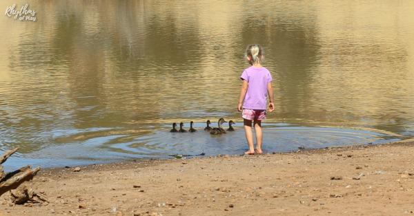bird watching for preschooler - observing duck mother and ducklings