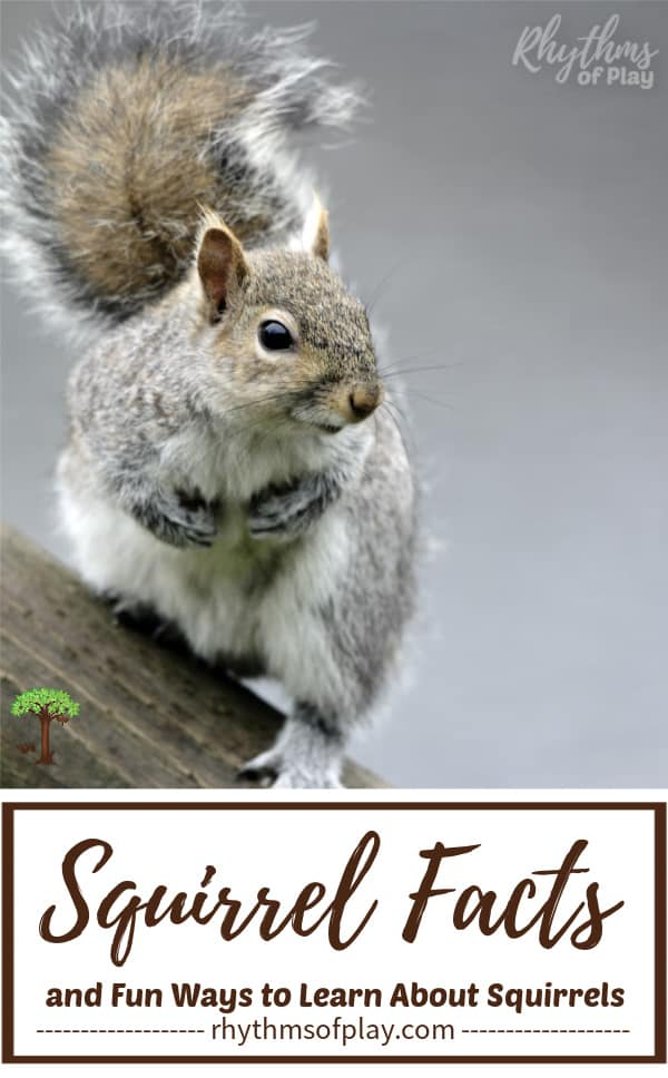 Squirrel Facts; Grey squirrel on a tree with its bushy tail in the air.