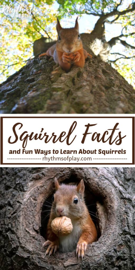 Picture of a squirrel climbing down a tree and another in a hole with a nut in its mouth.