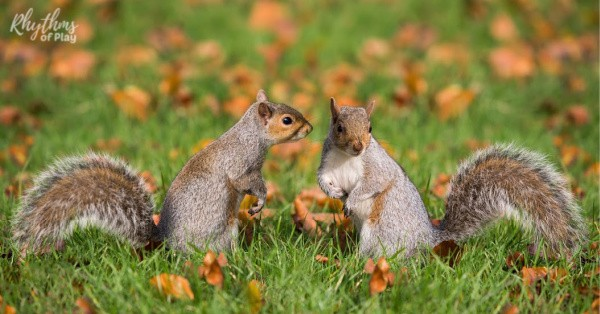 learn about squirrels; picture of squirrels playing in the grass and fall leaves.