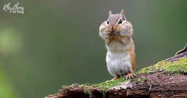 Squirrel with nuts shoved into it's cheeks.