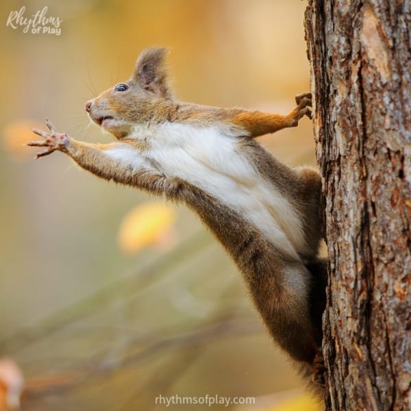 Red squirrel hanging onto the trunk of a tree and reaching out.