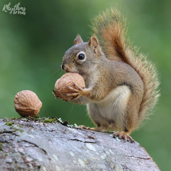 Fun facts about squirrels; picture of a cute squirrel eating walnuts on a log.