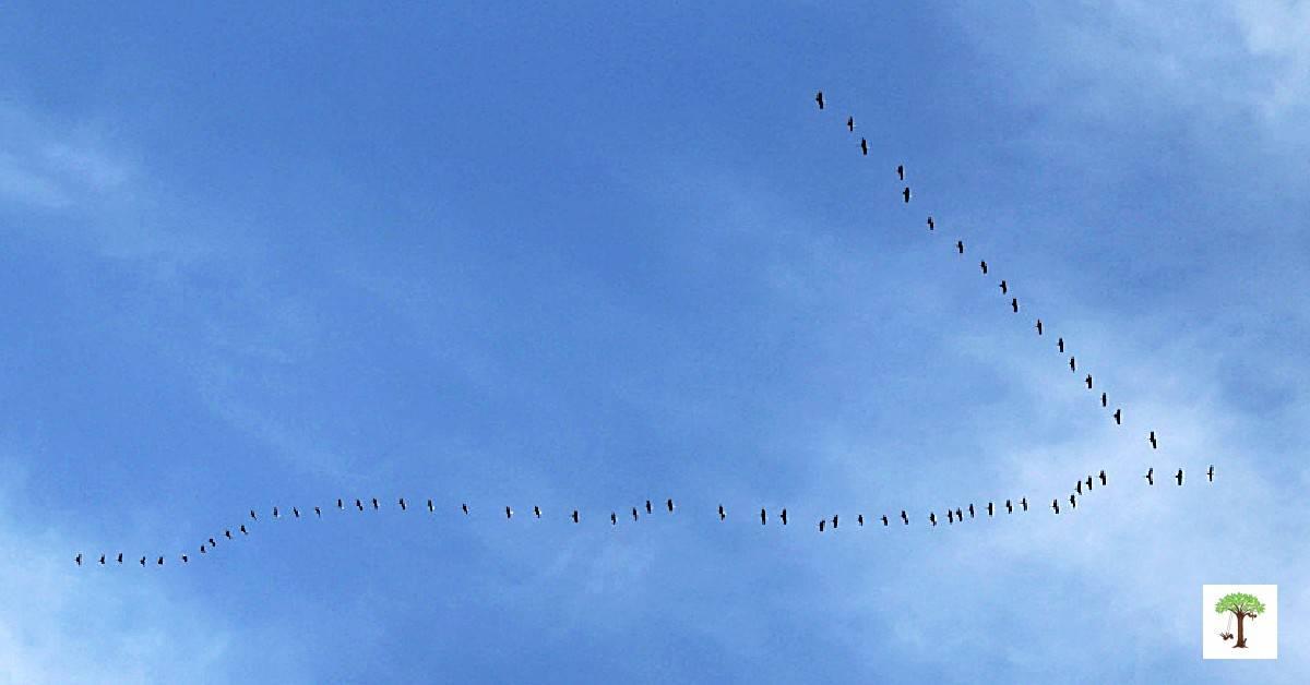 """Sign of spring, """"V"""" of migrating geese spotted on spring scavenger hunt."""
