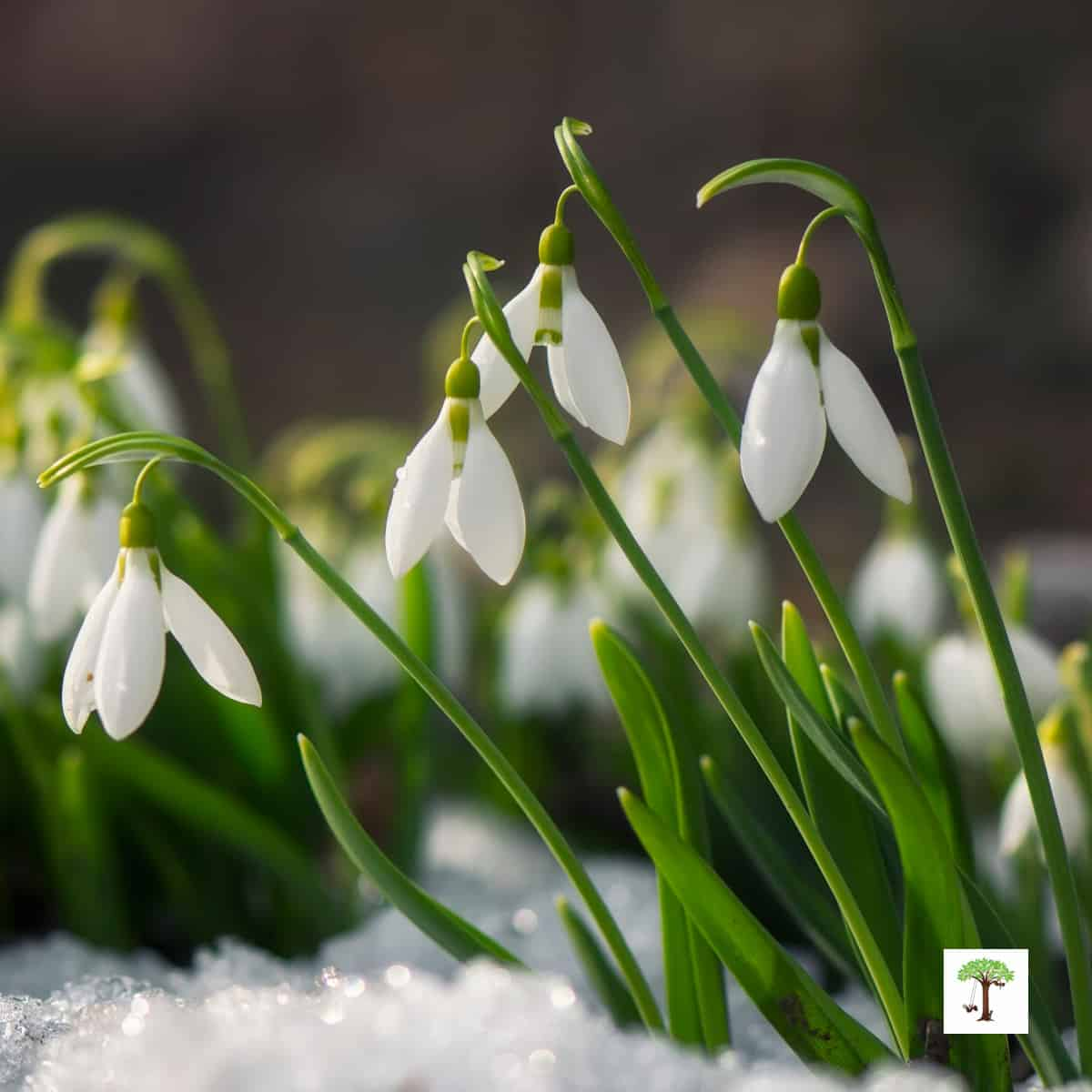 sign of spring - snowdrop flowers pushing through the melting snow and blooming in early spring.